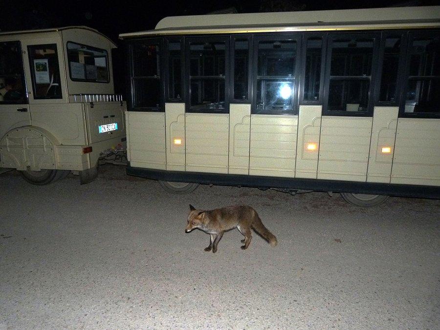 Parco della Mandria, volpe e trenino
