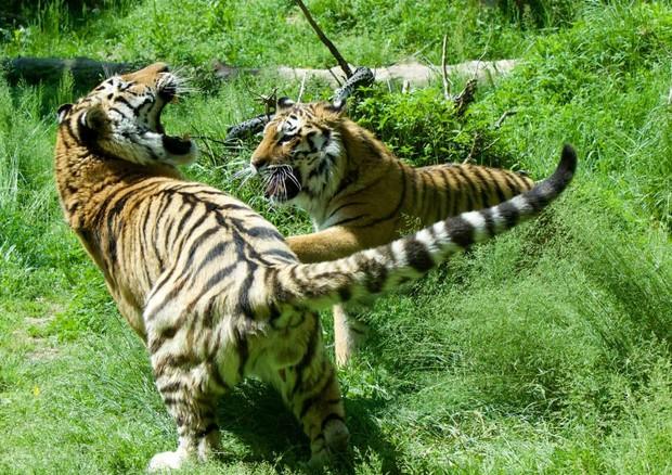 tigri, giornata mondiale tigre