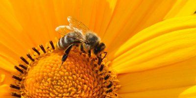 Clima impazzito mette in pericolo le api: -30% di miele nel 2021