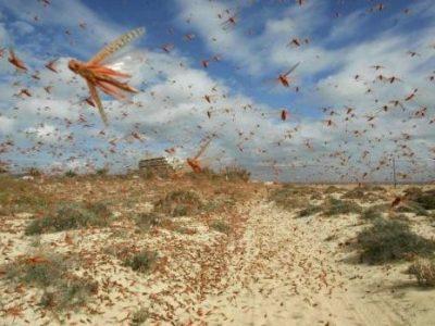 Catastrofe biologica, milioni di cavallette invadono la Sardegna