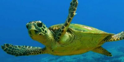 Tartaruga caretta caretta torna a nuotare nei mari italiani