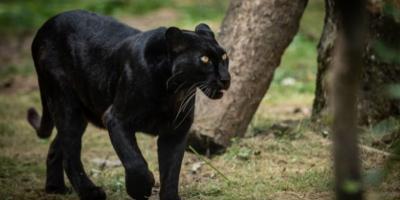 Paura e panico nel Barese: avvistata una pantera nell'entroterra