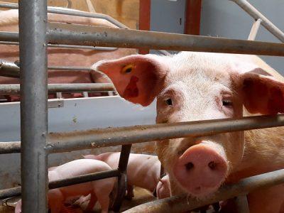 Immagini shock in Uk: maiali  destinati a Lidl uccisi a martellate