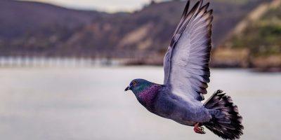 Il piccione viaggiatore, dalla storia ai giorni nostri