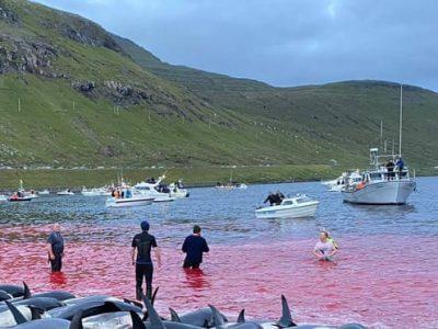 Orrore alle isole Faroe: uccisi almeno 1500 delfini